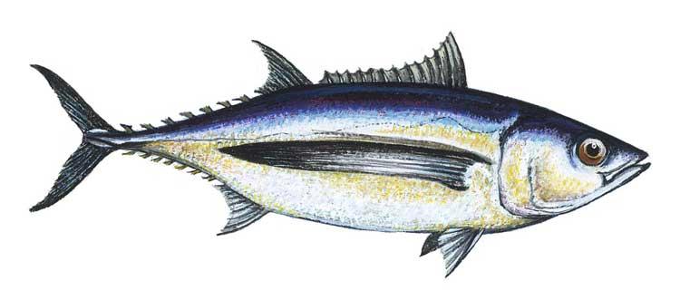 как ловить длинноперого тунца